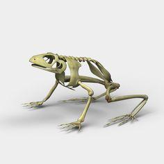 skeleton of a frog image animal skeletons and taxidermy. Black Bedroom Furniture Sets. Home Design Ideas