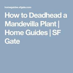 How to Deadhead a Mandevilla Plant