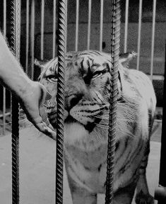 """emilylkinney: """"""""#too precious for this world, too pure""""""""   Daryl Dixon (Norman Reedus) petting the tiger Shiva in The Walking Dead Season 7 Episode 10 'New Best Friends'"""