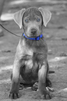 Silver Lab #puppy Labrador retriever labs