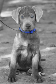 Silver Lab #puppy Labrador retriever labs