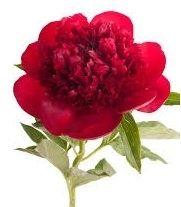 Peony, NZ-red/burgundy