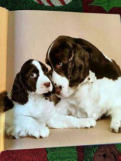 Springer Spaniels - mother's love ❤️