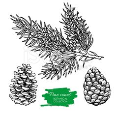 Vector hand drawn botanical Pine cone and branch. royalty-free stock vector art
