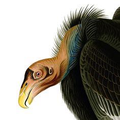 John Audubon's the Californian Vulture, today known as the California Condor