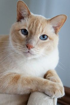 Flame-point siamese