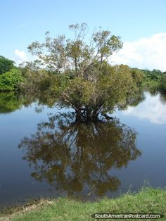 Pampas tree in the wetlands near Rurrenabaque, Bolivia (close to Madidi National Park, the Bolivian section of the Amazon rainforest)