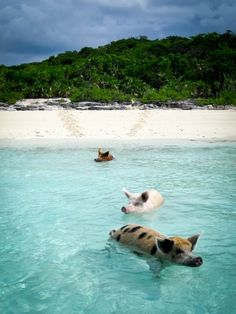 There exists on this humble planet a place where humans and wild pigs can frolic on a tropical beach together.