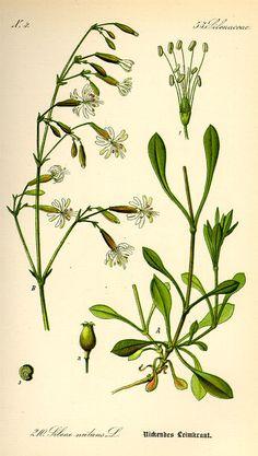 Longus põisrohi. Silene nutans. Flora von Deutschland Österreich und der Schweiz (1885).