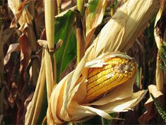 Vermont corn trials highlight better non-GMO yields, crop rotations over GMOs - See more at: http://www.non-gmoreport.com/articles/june-2015/vermont-corn-trials-highlight-better-non-GMO-yields-crop-rotations-over-gmos.php#sthash.6InpnP9P.dpuf
