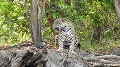 In der glühenden Mittagshitze, sucht ein Jaguar Schutz im Schatten eines Baumes, im brasilianischen Pantanal.