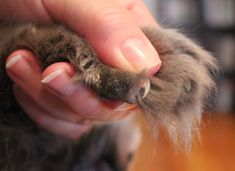 holding-paw-to-trim-nails