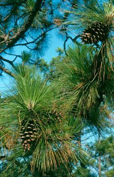 We use Longleaf Pine essential oil in our Carolina Pine body oil. A native of the South (from Virginia to Texas), longleaf pine has the longest needles of other pines in the region. Combined with Virginia cedarwood and vetiver, it makes a scent that is both complex and invigorating - perfect for the man or woman in your life who enjoys woodsy smells!