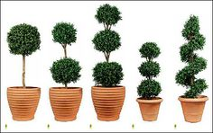 Artificial Topiary and beautiful pots. Boxwood or Buxus hedge topiary.