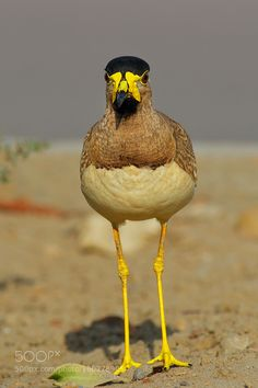 "nanatheone: "" superbnature: "" Yellow Wattled Lapwing by AmjadKhan3…"