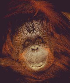 Portrait Images, Orangutan, View Image, Php, Free Images, Photos, Pictures, Grimm