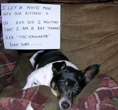 My rat terrier, Monte, watched a mouse take food from his bowl. He didn't do a thing.