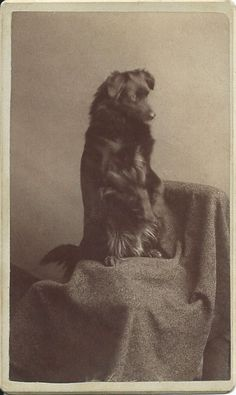 c.1870s cdv of of black dog sitting up and begging on draped chair. On verso, dog's name, Frisky, written in pencil. Photo by W.F. Sawtelle. From bendale collection.