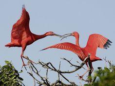 ibis | Fondos de Pantalla / Aves / Ibis Escarlata