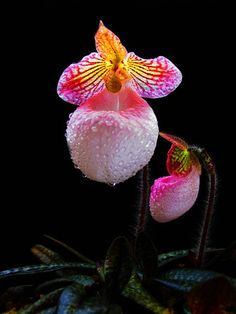 Orchid Paphiopedilum sclerophyllous - Protected Areas Species