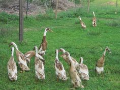 Indian Runner Ducks.  I have more DUCKS!