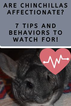 Are Chinchillas Affectionate? Oh Yeah! Learn how chinchillas are going to show their love and affect Chinchilla Facts, Chinchilla Food, Guinea Pig Toys, Guinea Pig Care, Small Animal Cage, Funny Tattoos, Pet Cage, Exotic Fish, Wedding Art