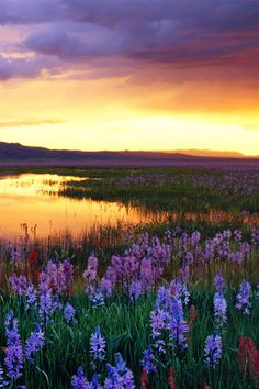 USA, Idaho, Camas Prairie, wild flowers by marsh, sunset by Steve Bly on Getty Images Beautiful Sunset, Beautiful World, Beautiful Flowers, Beautiful Places, Beautiful Pictures, Landscape Photography, Nature Photography, Photography Flowers, Backgrounds Wallpapers