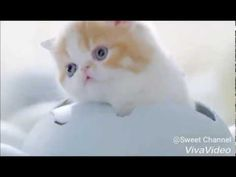 Little Kittens and Cute Cats whatsapp status Cutest Cat Breeds - Meow Moe I Love Cats, Cute Cats, Funny Cats, Cute Kitten Gif, Cute Gif, Little Kittens, Kittens Cutest, Exotic Shorthair, Cute Cat Breeds