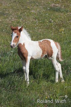 Icelandic Baby Horse