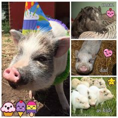 Butters the pig at 1 year old. A past Outlaw Mini piglet. http://www.outlawminipigs.com/