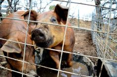 3 Little Piggies! #OrganicLiving #Ranches #Pigs