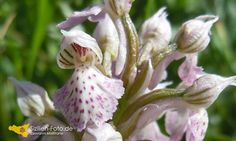 Wilde Orchideen auf Sizilien http://www.sizilien-etna.de/2014/03/wilde-orchideen.html