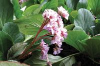 Bergenia Pink- range of colors Orchid House, Shade Plants, Back Gardens, Dream Garden, Garden Plants, Orchids, Woodland, Berries, Leaves