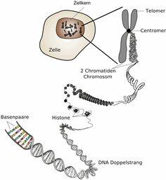 Zellkern und DNA