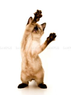 SIAMESE KITTEN CAT PLAYING PHOTO ART PRINT POSTER PICTURE BMP111A