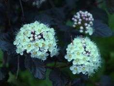 Ninebark is a tall growing and wide spreading shrub with rounded clusters of white flowers. Cultivars offer dark foliage and a more compact habit.