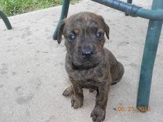 I saw this picture on Petfinder and couldn't get him out of my mind. I drove two hours to the rescue adoption fair and brought him home  He's half Catahoula Leopard and half Boxer (they think). He's getting so big I think he might be a Catahoula/Mastiff instead.