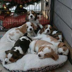 a bed full of beagles.....my dream come true!!! #beagle