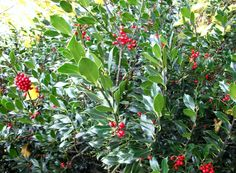 The simple beauty of a holly tree.