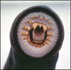 """Pacific Lamprey (Lampetra tridentata)- You're Creepy but Interesting- AS FOOD: """"Pacific lamprey are an important ceremonial food for Native American tribes in the Columbia River basin. Pacific lamprey numbers in the Columbia River have greatly declined with the construction of the Columbia River hydro-power system. Almost no harvest opportunity for Native Americans remains in the Columbia River and its tributaries except for a small annual harvest at Willamette Falls on the Willamette River"""""""