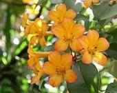 Orange Tropic Rhododendrons, Fine Art Print, 8x12