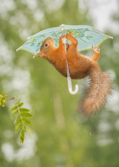 female red squirrel hanging under a umbrella