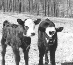 Raising Cattle on Your Own Place. Excellent article from Backwoods Home Magazine.