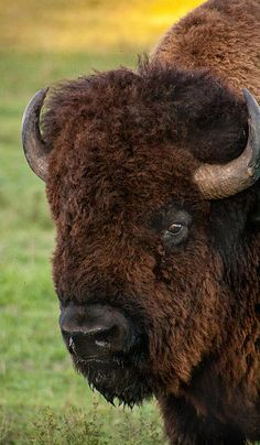 Buffalo Portrait, this was a massive bull bison, took the photo from the truck and yes, he was this close. Buffalo S, Buffalo Animal, Large Animals, Animals And Pets, Cute Animals, Zoo Animals, Wild Animals, Animal Bufalo, Buffalo Pictures