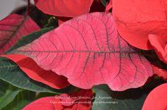 Пуансеттия. Цветы для лепки | 18 фотографий