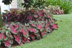Caladiums make beautiful borders!