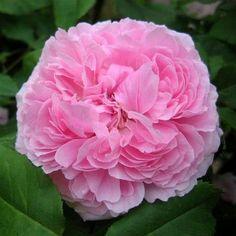 pink+queen+of+denmark+rose | queen of denmark rose- shade tolerant