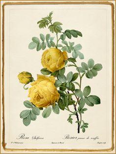 "Pierre-Joseph Redouté ""Les Roses - Rosa Sulfurea"" 1819-24."