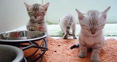 立ったまま眠さの限界を迎えたベンガルの子猫に癒される*