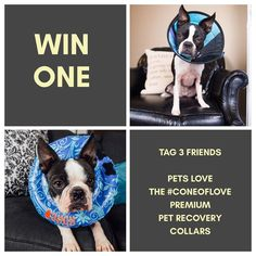 MaggieLovesOrbit on Instagram: http://ift.tt/2lQo7EB I'm a helicopter dog mom and I don't have kids and I want the best for my dogs.  We're working with @petrecoverycollars for their first giveway. . I have 4 of their collars at home and honestly each have it's own different use depending on where you're trying to help your dog recover.  Orbit has OCD sometimes.  When Maggie ignores her and suckles - she turns to herself and starts to lick.  That combined with her yeast outbreaks she's prone…